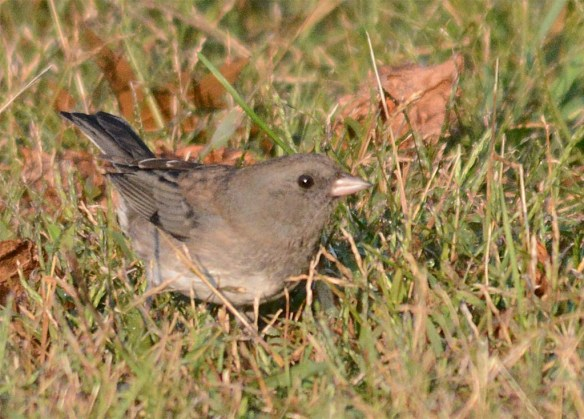 dark-eyed-junco-2016-7