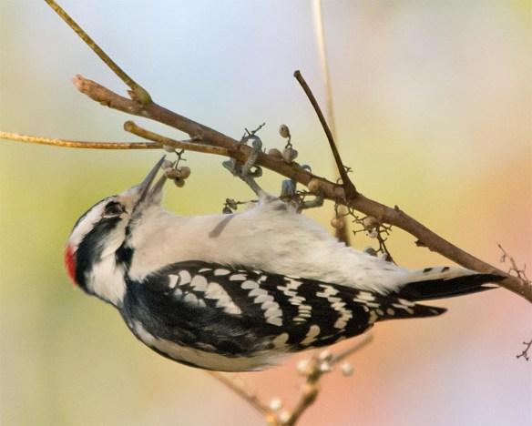 downy-woodpecker-2016-10