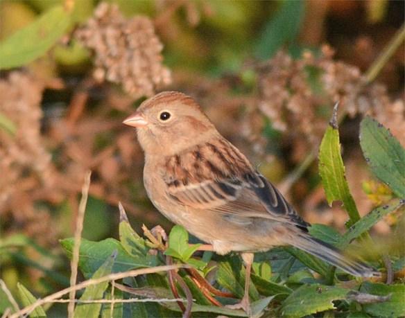 field-sparrow-2016-6