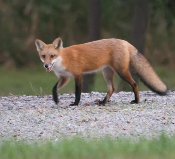 fox-62