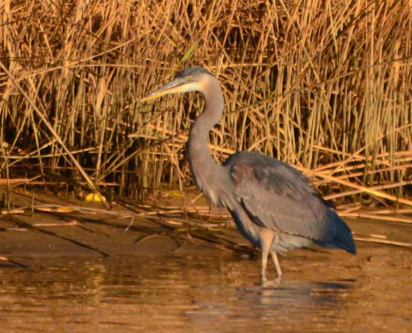 great-blue-heron-2016-82
