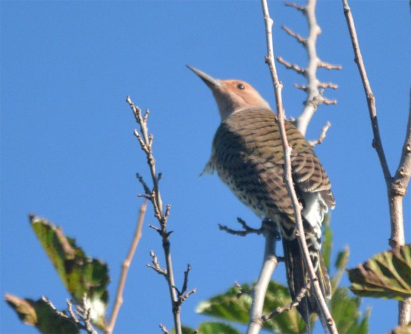 northern-flicker-2016-12