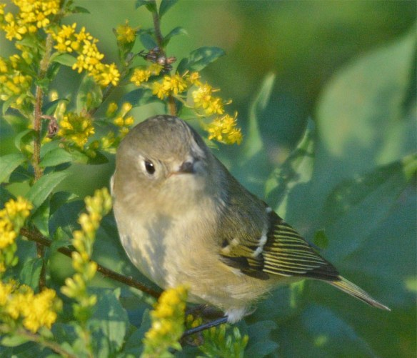 ruby-crowned-kinglet-2016-2
