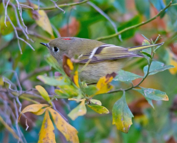 ruby-crowned-kinglet-2016-4