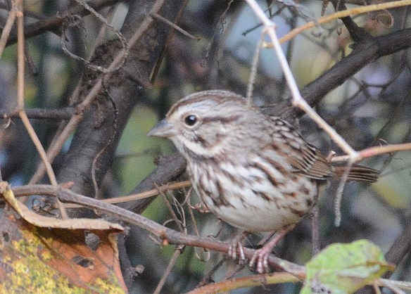 song-sparrow-2016-14