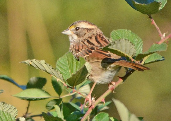 white-throated-sparrow-2016-15