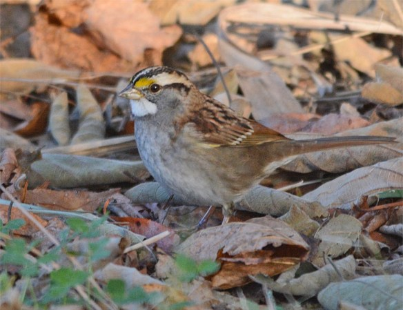 white-throated-sparrow-2016-18-1