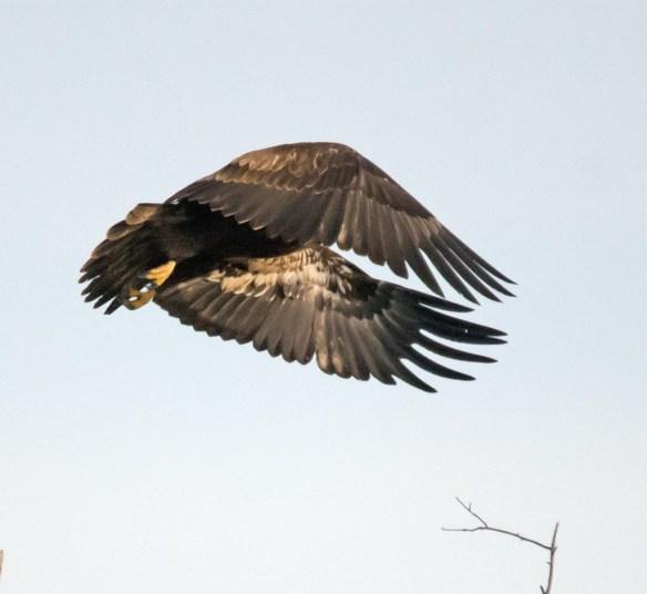 bald-eagle-2016-96
