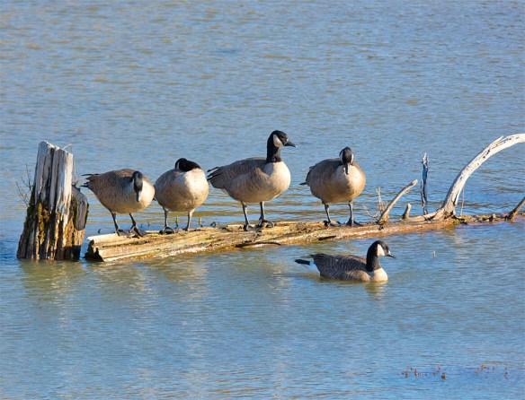 canada-goose-2016-40