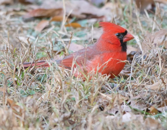 cardinal-2016-29