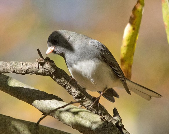dark-eyed-junco-2016-12