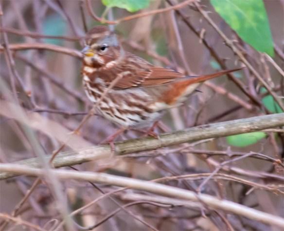 fox-sparrow-2016-1