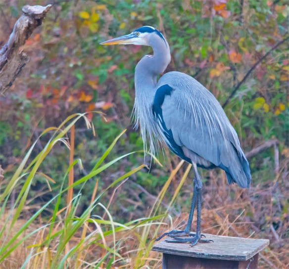 great-blue-heron-2016-95
