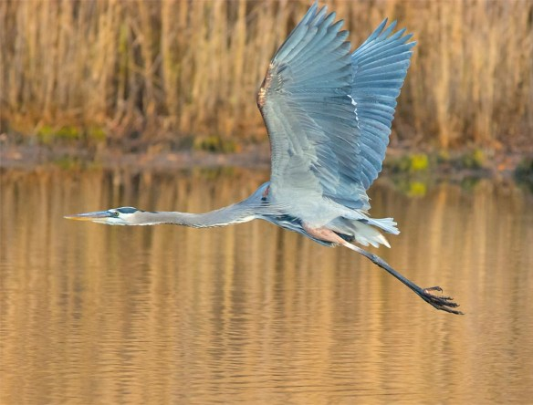 great-blue-heron-2016-97