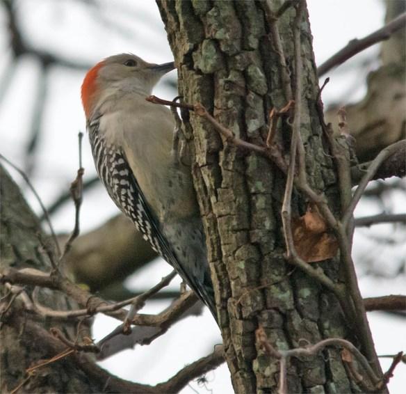 red-bellied-woodpecker-2016-2