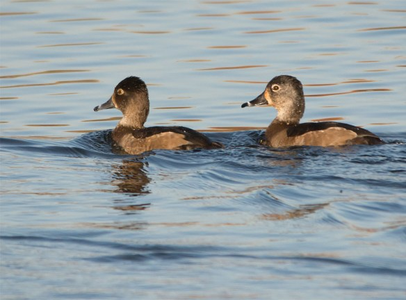 ring-necked-duck-2016-16