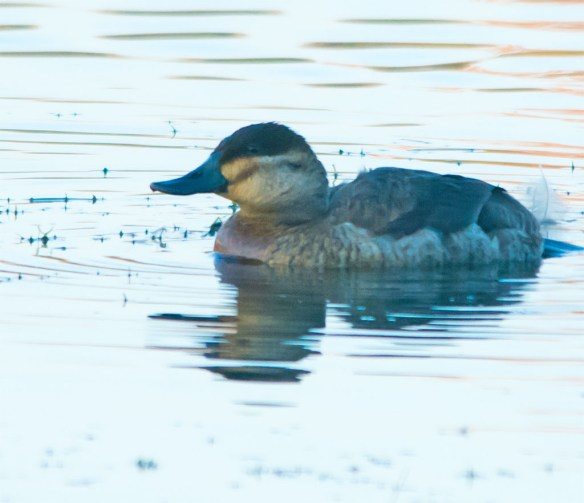 ruddy-duck-2016-19