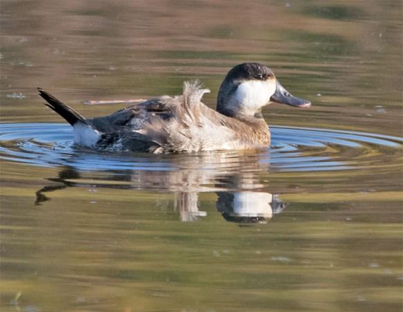 ruddy-duck-2016-20