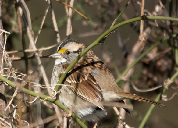 white-throated-sparrow-2016-23