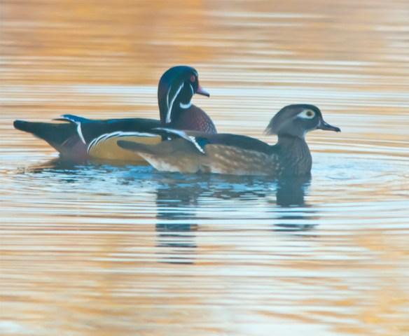 wood-duck-2016-146