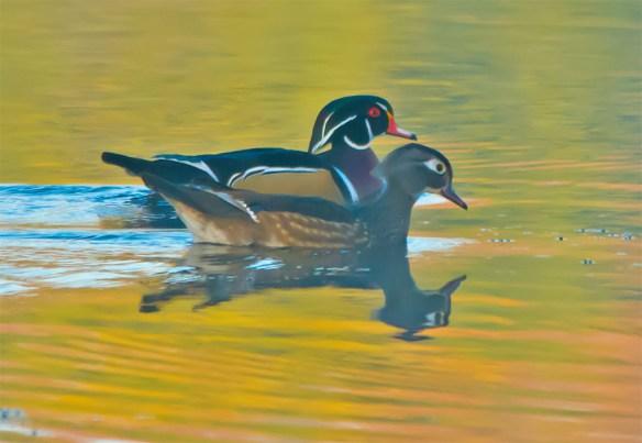 wood-duck-2016-153