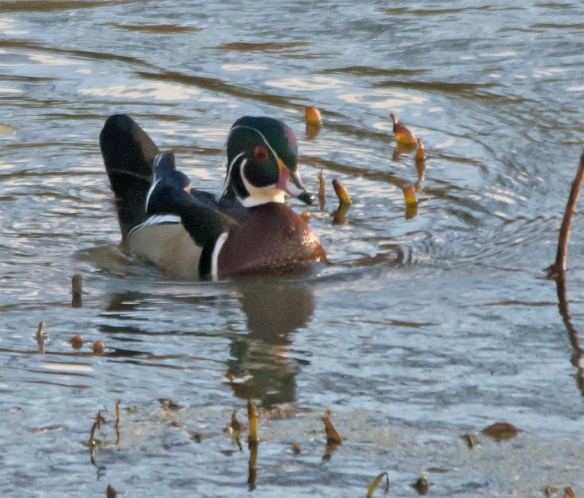 wood-duck-2016-154
