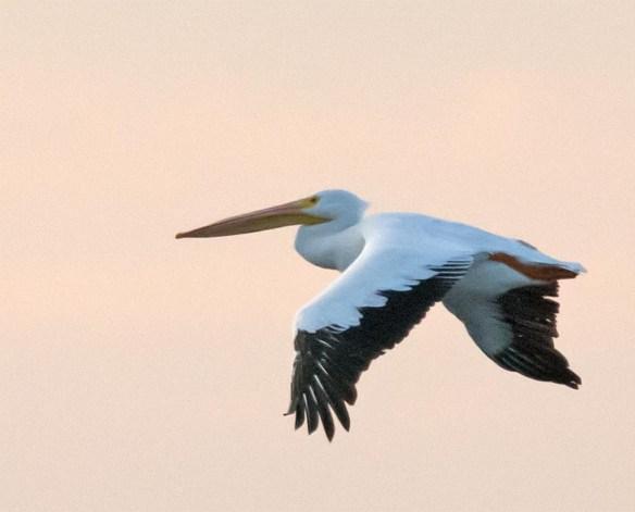 American White Pelican 2016-5