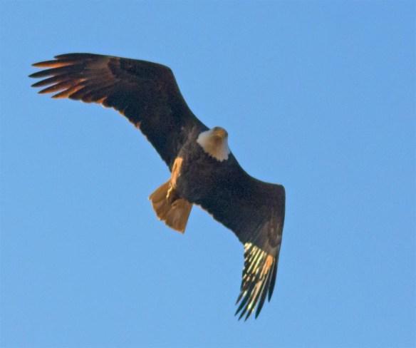 bald-eagle-2016-105