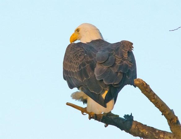 bald-eagle-2016-110