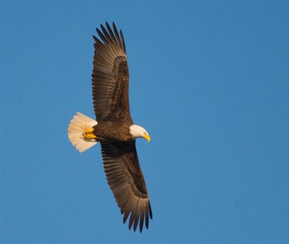 bald-eagle-2016-111