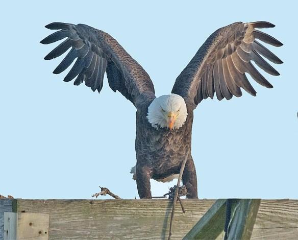 Bald Eagle 2016-113