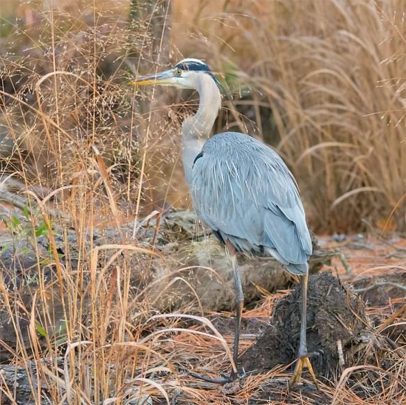 Great Blue Heron 2016-106