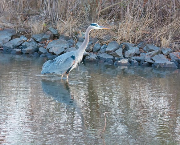Great Blue Heron 2016-111
