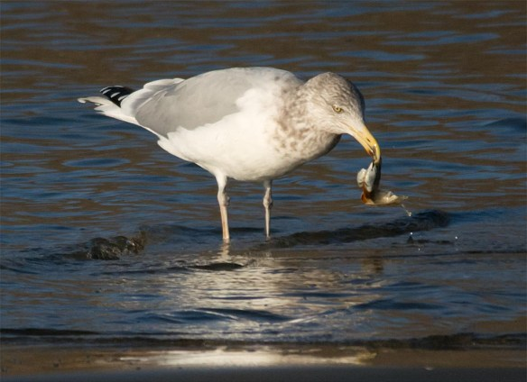 Ring Billed Gull 2016-10
