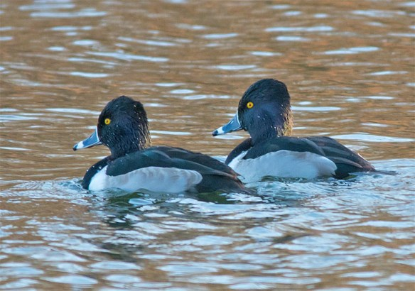ring-necked-duck-2016-29