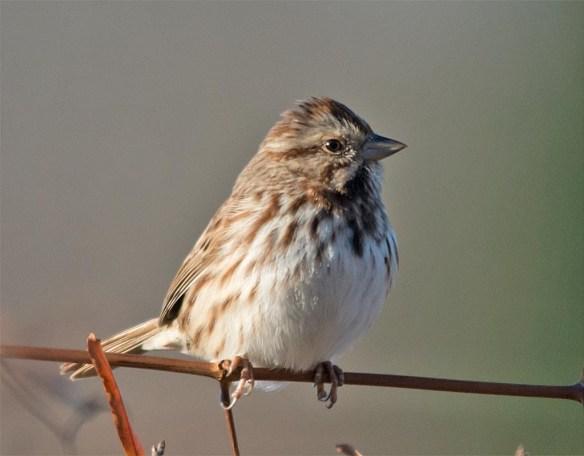 song-sparrow-2016-22