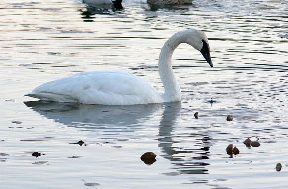 trumpeter-swan-2016-1