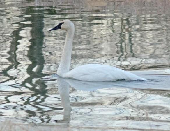 Trumpeter Swan 2016-30