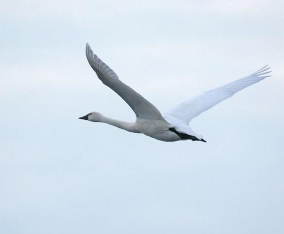Tundra Swan 2016-22