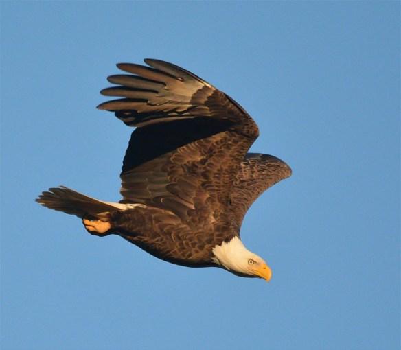 Bald Eagle 2017-21
