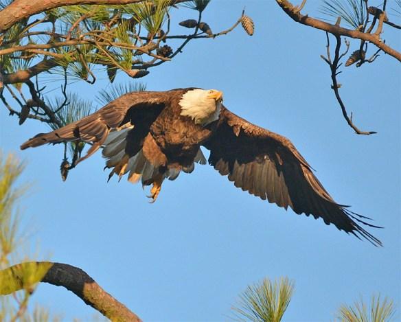 Bald Eagle 2017-23