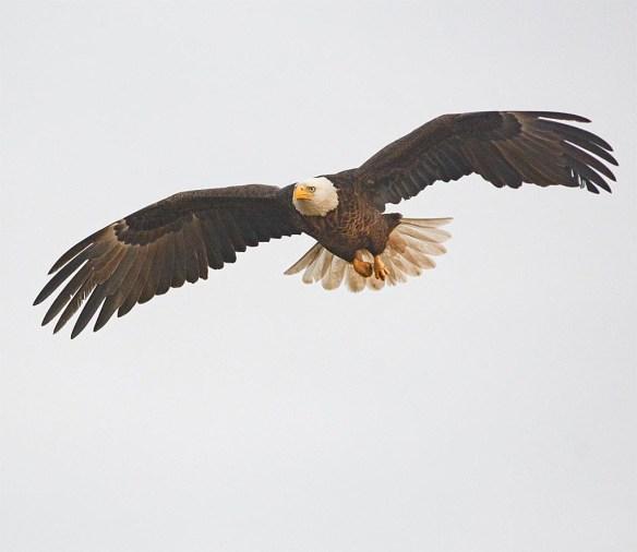 Bald Eagle 2017-7