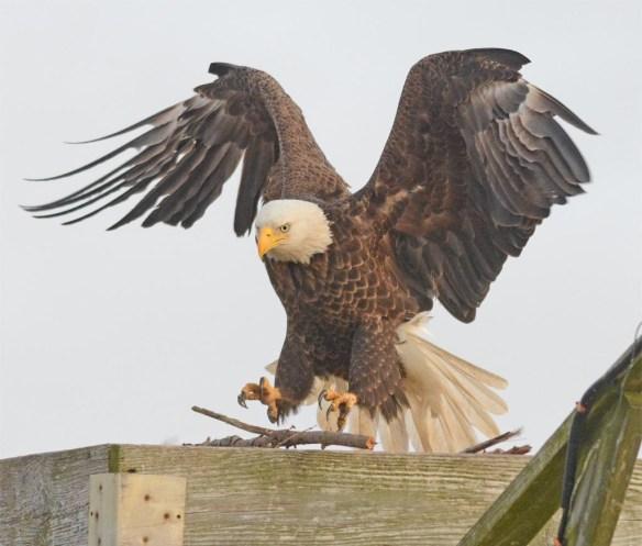 Bald Eagle 2017-9