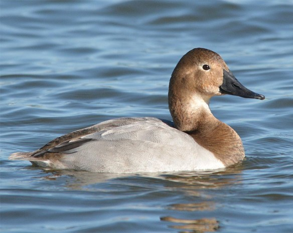 Canvasback 2017-6