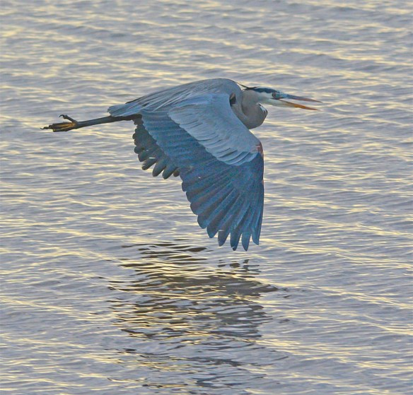 Great Blue Heron 2017-11