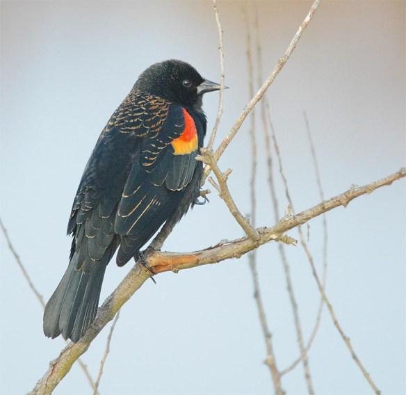 Red Winged Blackbird 2017-1
