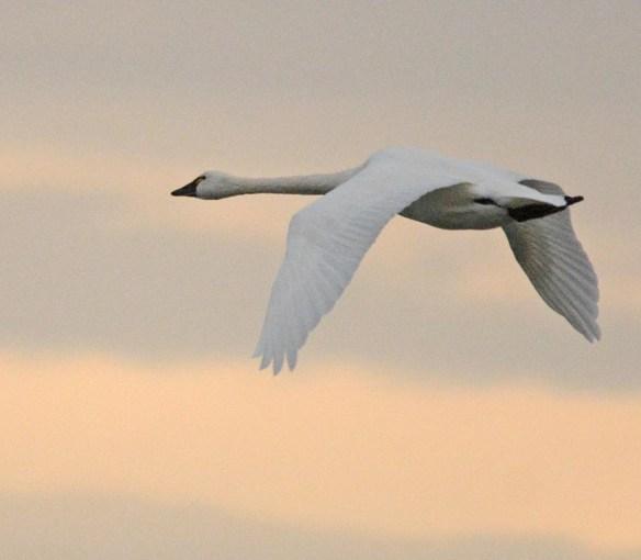 Tundra Swan 2017-10