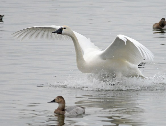 Tundra Swan 2017-11