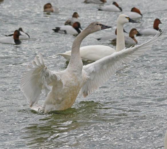 Tundra Swan 2017-28