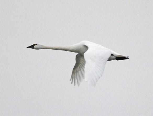 Tundra Swan 2017-9
